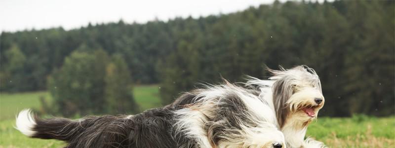 runingdog